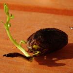 Pisztáciafa csíráztatása - a csíra
