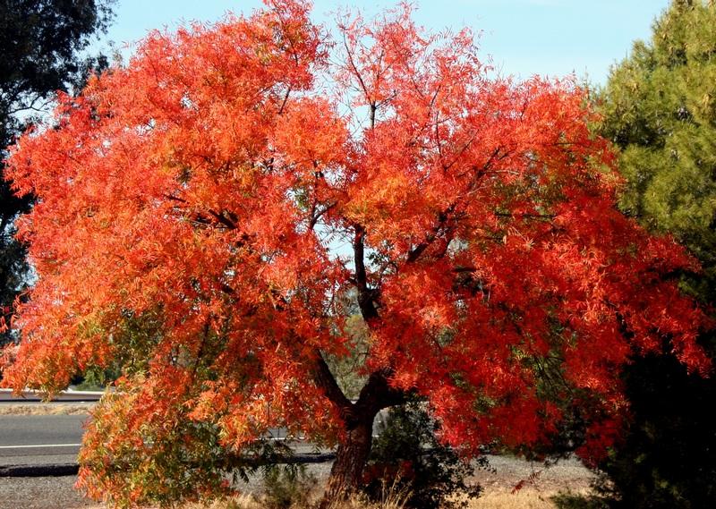 Lombhullató pisztáciafa ősszel