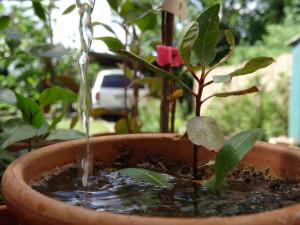 Pisztáciafa öntözése